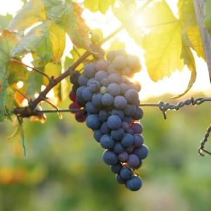 Malvasia, Het Toverstokje Voor Bijzondere Wijnen